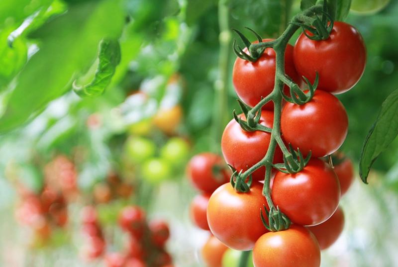 Tros Tasty Tom tomaten aan plant